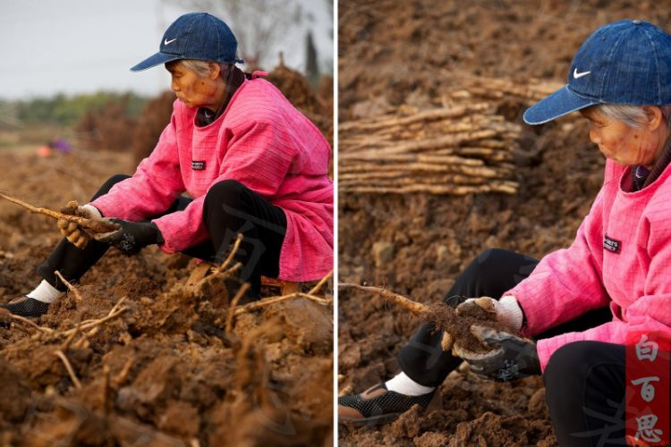 奶奶把刚挖出来的小白嘴山药去泥